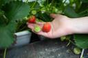 De bodemverbeteraar wordt momenteel getest op aardbeienteelt in PC Fruit.