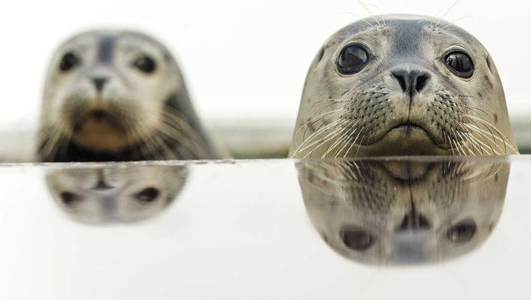 Zieke zeehonden in de nieuwe opvang A seal aan het Haringvliet in Stellendam. Beeld anp
