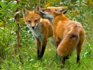 Politie krijgt oproep voor 'oversexte' vossen