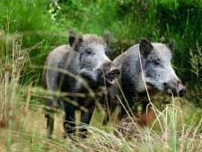 PvdD wil vanwege droogte jachtverbod op Veluwse zwijnen