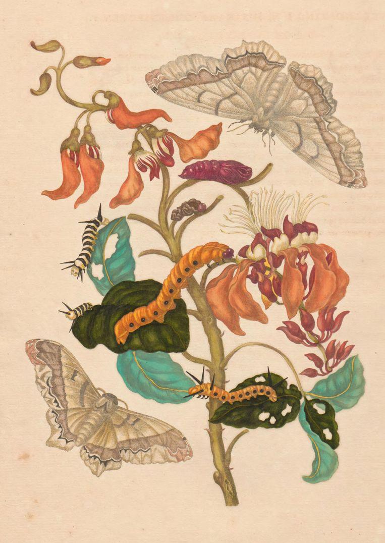 Koraalboom en vlinder, 1719, Maria Sybilla Merian. Beeld