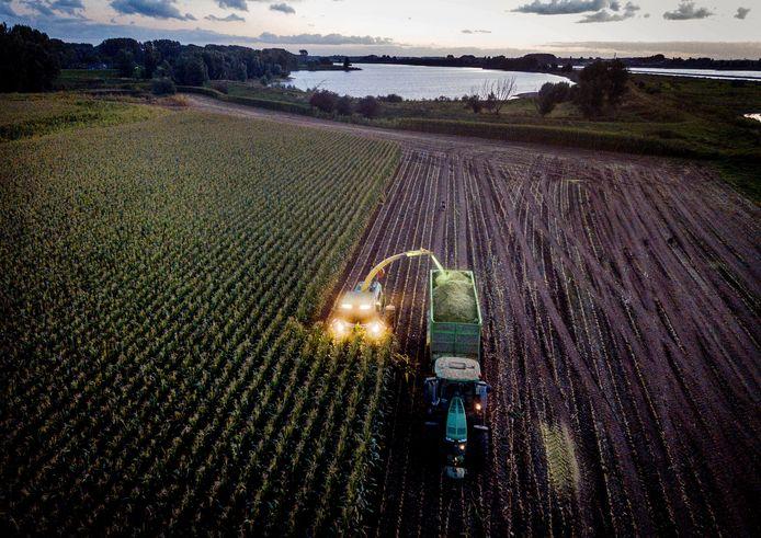 Bij de gebroeders Reijnders kan de mais aan de Waalkant van het land geoogst worden dankzij een illegale eigenhandige dijkverhoging tijdens het hoogwater in juli. De loonwerkers en boeren gaan nu dag en nacht door.