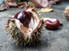 Voedseltekort dreigt voor veel dieren door massaal rapen van herfstvruchten, behalve in de Biesbosch