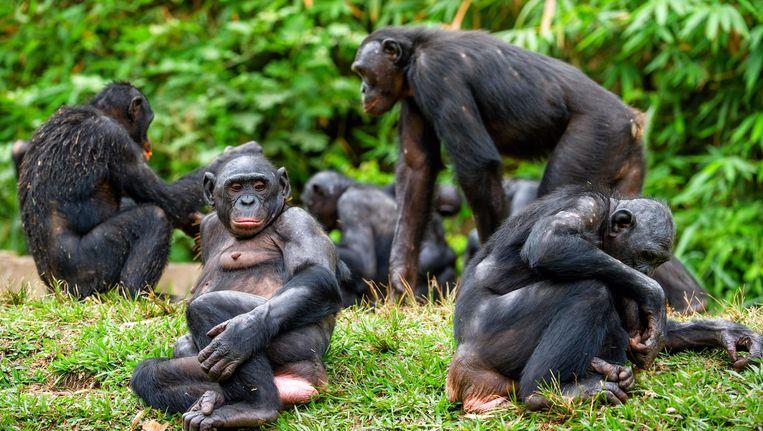 Een groep bonobo's. 'Dat zijn een soort hippies: veel seks, geen oorlog.' Beeld Getty Images
