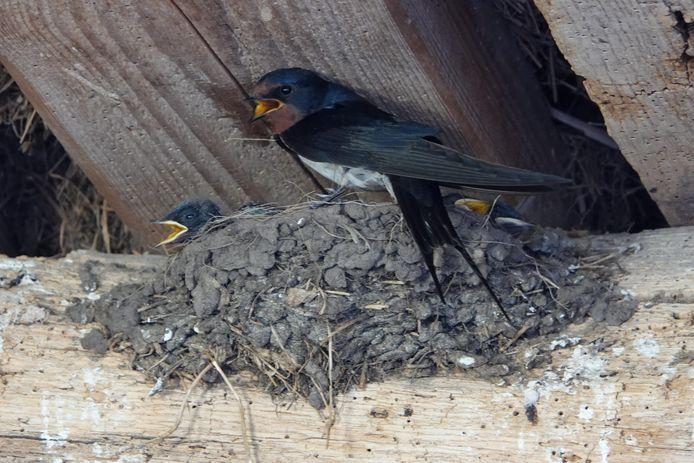 'Hijgende' boerenzwaluw op het nest bij Stokkink, zoals Arend Heideman vastlegde.