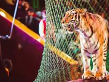 Circustijgers vermalen Italiaanse dompteur en spelen half uur met zijn lijk