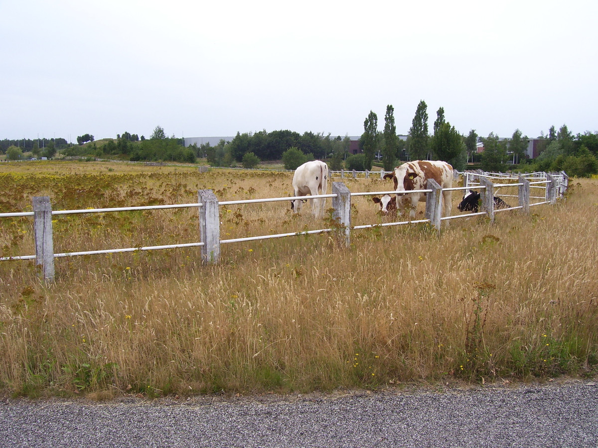 De vier koeien in park Meerhoven zijn zaterdag weggehaald. (archieffoto)