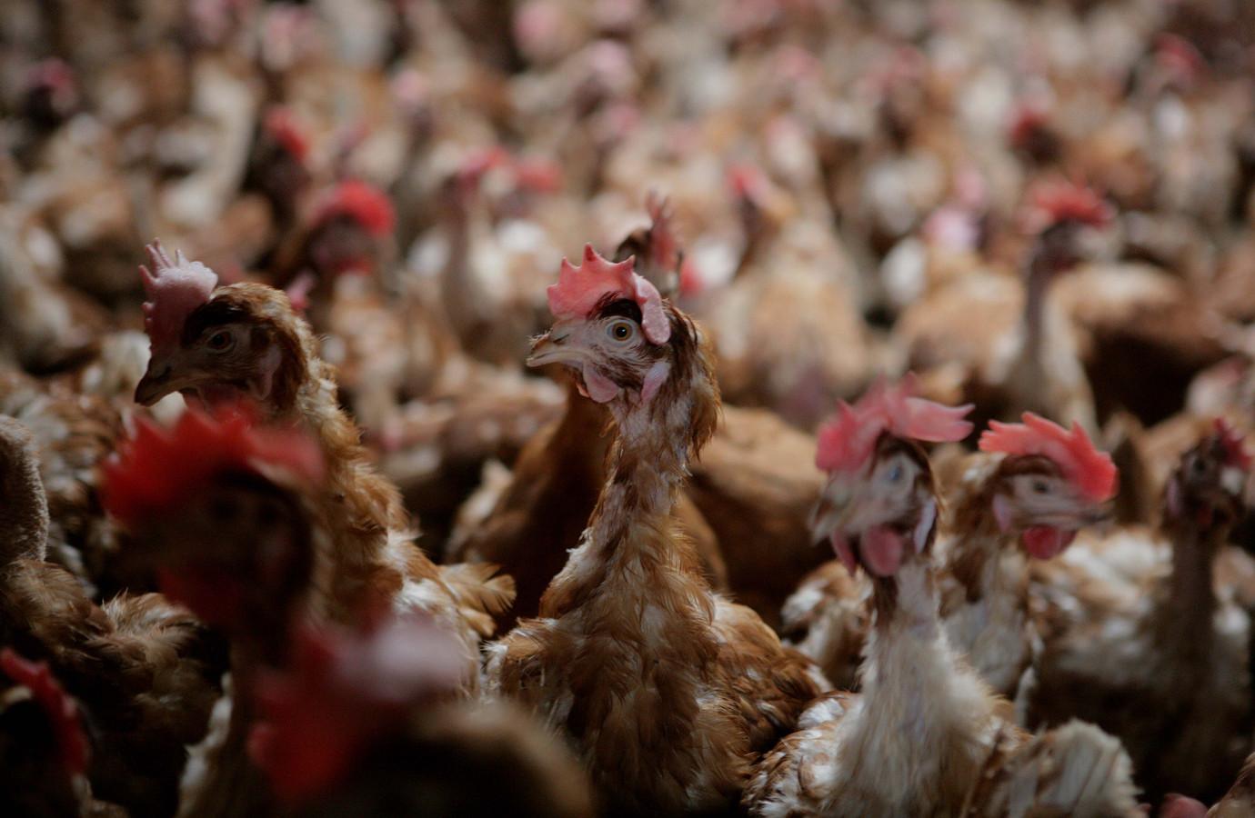 De kippen moeten sinds 23 oktober binnenblijven om de kans op besmetting met de vogelgriep zo minimaal mogelijk te houden.
