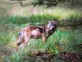 Veluws wolvenpaar heeft weer welpen