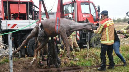 Brandweer hijst paard uit de gracht: dier komt met de schrik vrij