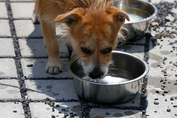 Archiefbeeld: een hondje drinkt water bij het dierenasiel in Gent.
