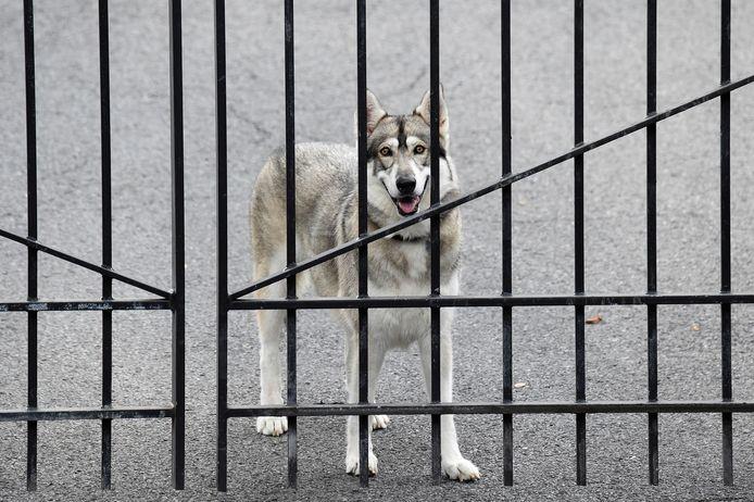 Captain, de hond van gouverneur Cuomo, werd voorlopig achtergelaten in de gouverneurswoning.