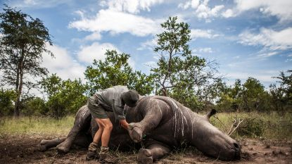 Minder neushoorns gestroopt in Zuid-Afrika, maar toch wel alweer ruim 500 tot nu toe dit jaar