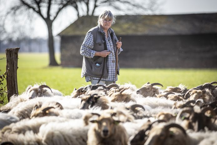 Mieke Boode houdt toezicht op haar Drentse heideschapen.