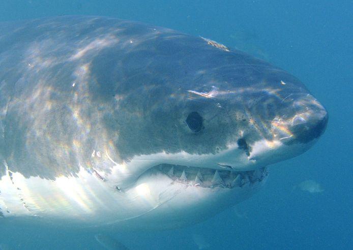 De witte haai lijkt verdwenen te zijn uit Valsbaai.