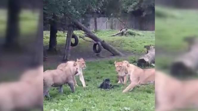 Aapje vast in kooi van leeuwen in Olmense Zoo