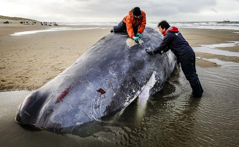 Deskundigen doen onderzoek naar de doodsoorzaak van de gestrande potvissen. Beeld anp