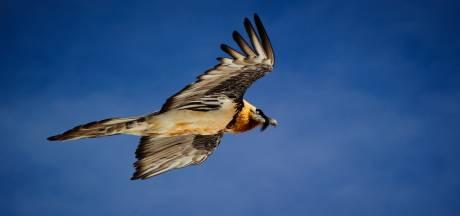 Deze grootste vogel van Europa is afgedwaald en vliegt rondjes boven de Veluwe