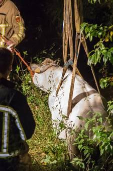 Koe ontsnapt uit weiland in Notter en belandt in sloot
