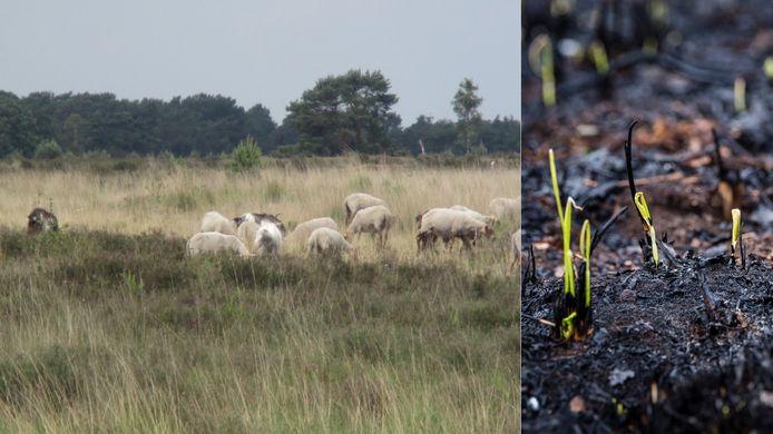 GroenRand hoopt dat er snel schapen ingezet worden om de reeds opschietende grassen op het Groot Schietveld weg te eten