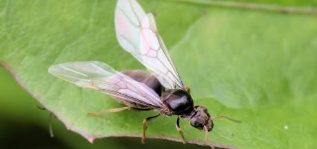 Pas op, de vliegende mieren zijn er weer! Dit is waarom je de kleine beestjes overal ziet