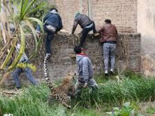 Luipaard zet stadswijk op zijn kop, minstens vier gewonden