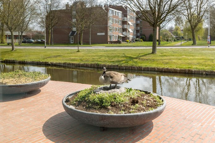 Op een prominente plek in Kampen broedt een gans op zes eieren; aan de voorkant van de raadszaal van het stadhuis op een grote plantenbak.