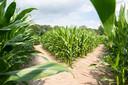 Het maïsdoolhof in Prinsenbeek is weer open.