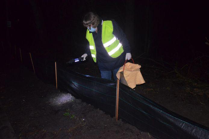 Vrijwilliger Christine op zoek naar padden. Tijdens de paddenoverzetactie van Natuurpunt werden er heel wat padden overgezet, onder meer op de Denderhoutembaan in Ninove, aan de grens met Denderhoutem.