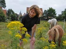 Minister doet niets tegen giftig jacobskruiskruid, ondanks overlijden paarden