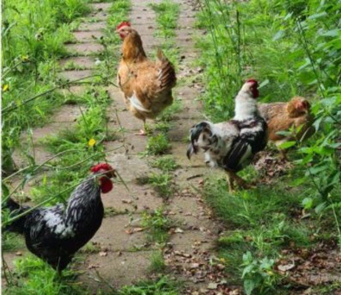 4 van de 11 kippen die bij kinderboerderij 't Weusthag over de heg zijn gegooid.