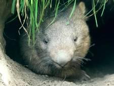 Wombat-weesjes groeien op bij familie Nooren in Lennisheuvel: 'Eerst een poos laten wennen'