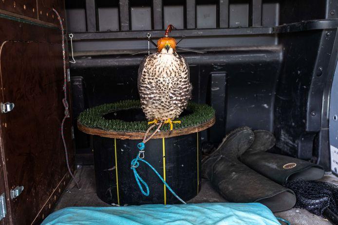 Valkenier Pim is met zijn roofvogels op duivenjacht in wijndomein Oud Conynsbergh in Boechout en Vremde. De bedoeling is om de duiven weg te jagen door de aanwezigheid van onder andere deze valk.