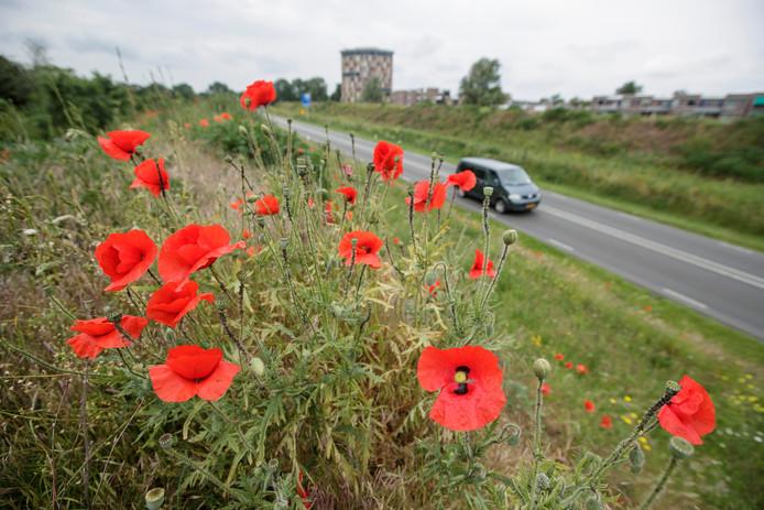 Talloze rode klaprozen zorgen op de plek van het voormalige landschapskunstwerk Het Witte Lint voor een rode bloemenzee.