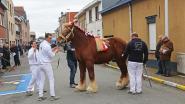 Belgische Trekpaarden palmen Stationsstraat (eventjes) in