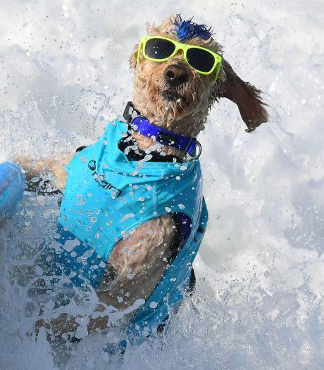 Fotoserie: Surfhondjes kennen geen plankenkoorts