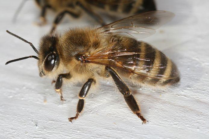 Studies van Natuurpunt bevestigen de aanwezigheid van zeldzame bijensoorten op Landens grondgebied.