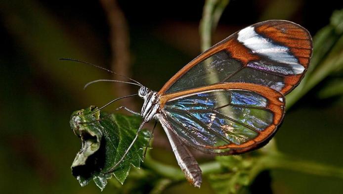La papillon de verre