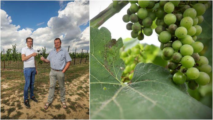Jeroen Houben en zijn vader Ghislain aan wijndomein Hoenshof vorige zomer, waar nu enkele druiven en bladeren kampen met een schimmelinfectie na het aanhoudende regenweer.