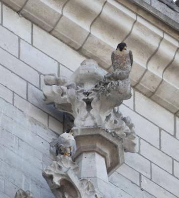 Foto van Slechtvalken op torens Sint-Michiels- en Sint-Goedelekathedraal