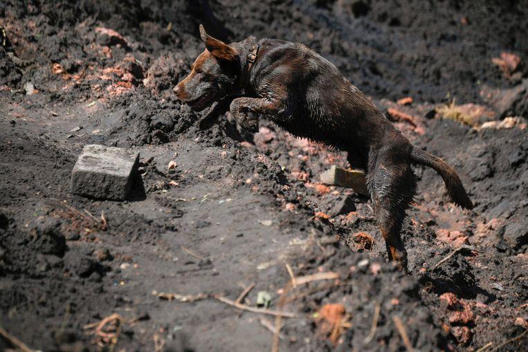 Een reddingshond zoekt in de modder naar overlevenden. Beeld AFP