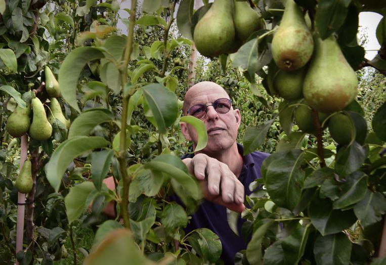 Fruitteler Marcel Leeuwis bij zijn peren in Tuil. Beeld Marcel van den Bergh / de Volkskrant