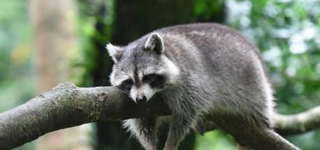 Eerste Gelderse wasberen gevangen en afgeschoten, ondanks felle kritiek
