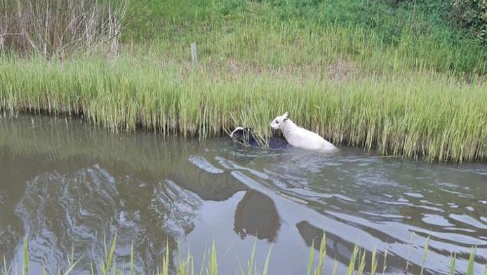 Een paar van de schapen die probeerden te ontkomen aan de vangpoging van politie Westland.