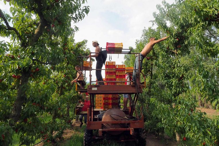 Ecologisch verbouwde nectarines in Frankrijk. Beeld epa