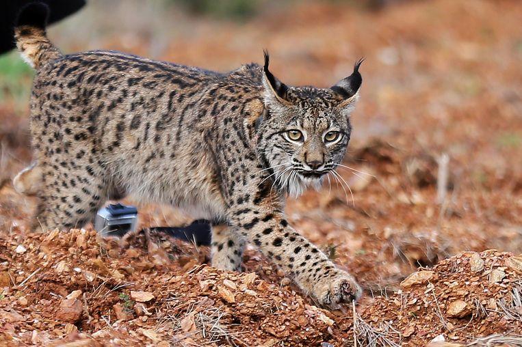 'Op de Veluwe is plaats voor vijf lynxen' Beeld EPA