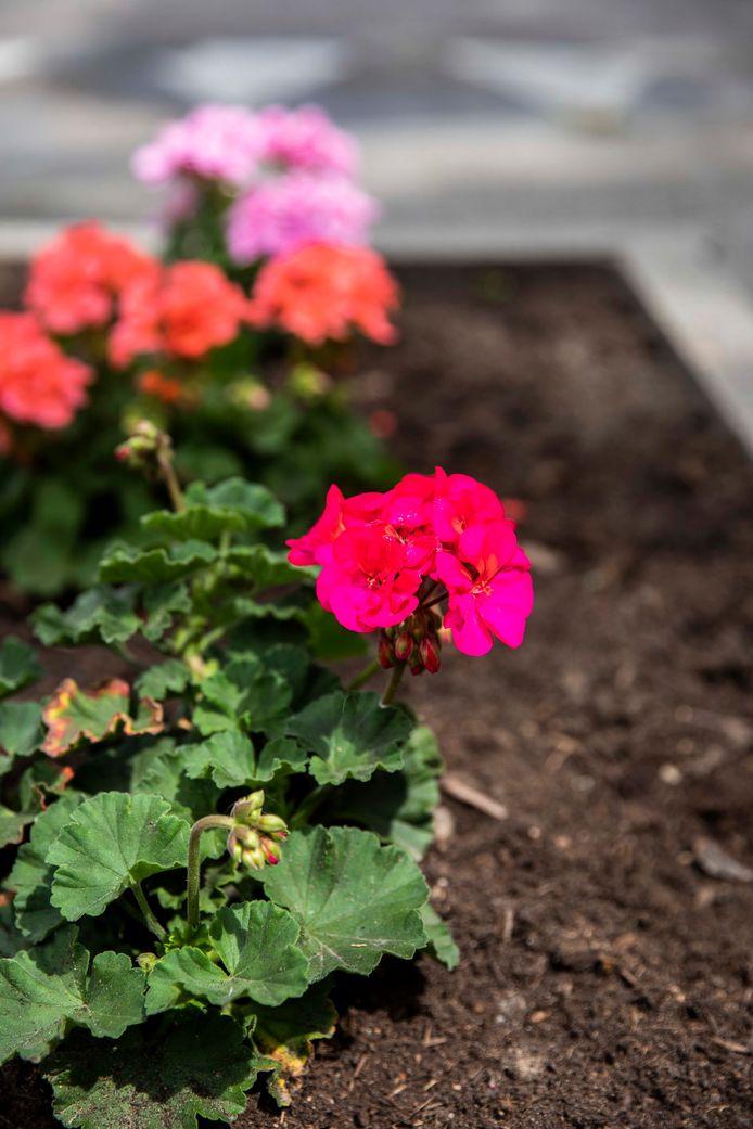 Eén van de vele mooie bloemetjes die met liefde worden onderhouden.