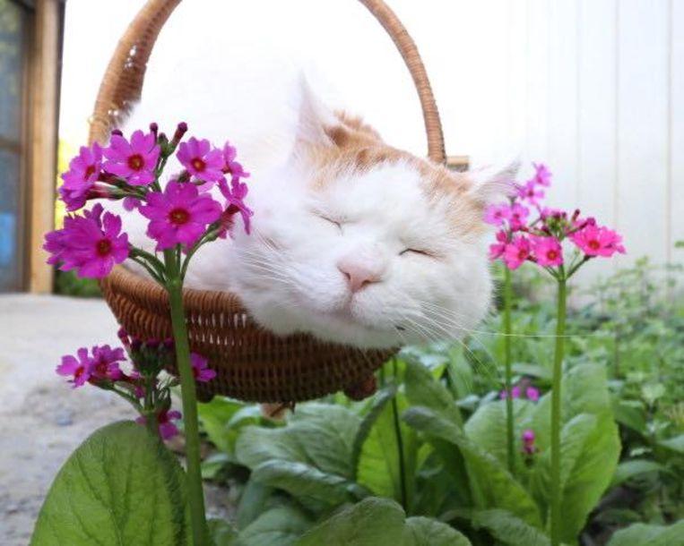 Shirenko, een Japanse kat en wereldwijde internetsensatie Beeld rv