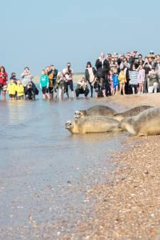 Vrijlaten zeehonden is in trek bij honderden mensen, zelfs de bitterballen ontbreken niet