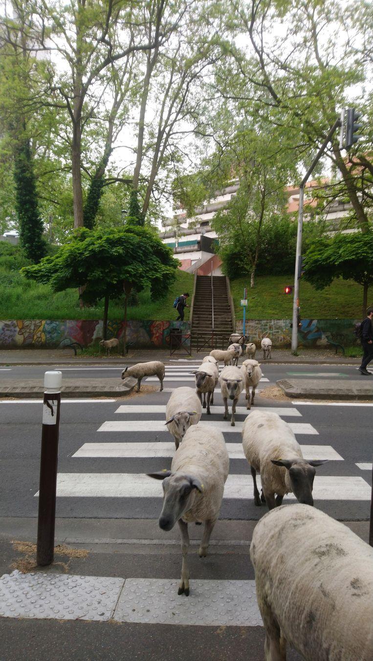Een kudde schapen in de straten van Parijs.  Beeld rv